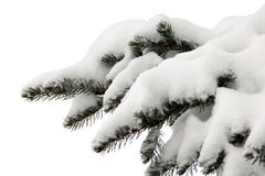 Snowy spruce branch on white Royalty Free Stock Photography