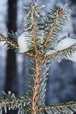 Snowy spruce, close up. Snowy spruce, right before night time royalty free stock image