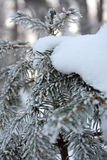Snowy spruce, close up stock photos