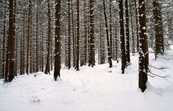 Snowy spruce forest Royalty Free Stock Photos