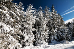 Snowy Spruce Forest Stock Photo
