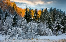Snowy spruce forest at gorgeous sunset Stock Photo