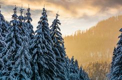 Snowy spruce forest at gorgeous sunset. Beautiful nature scenery in winter royalty free stock image