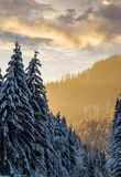 Snowy spruce forest at gorgeous sunset. Beautiful nature scenery in winter stock images