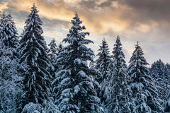 Snowy spruce forest under evening sky. Gorgeous nature background royalty free stock photos