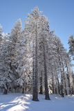 Snowy spruce forest Stock Photography