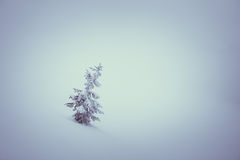 Snowy spruce Royalty Free Stock Image