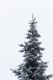 Snowy spruce before the new year. Winter holidays royalty free stock photography