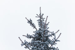 Snowy spruce before the new year. Winter holidays royalty free stock images