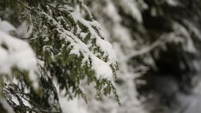 Spruce and pine tree branches covered with snow. Winter day in snowy fir tree forest, Christmas season and new year. Snowy spruce and pine tree branches covered stock video