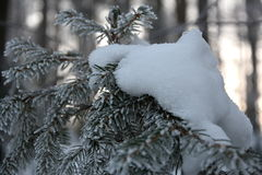 Snowy spruce royalty free stock images