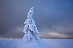 Snowy spruce tree Royalty Free Stock Image