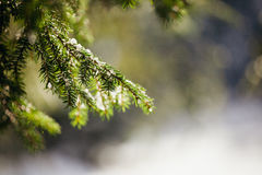 Snowy spruce tree with bokeh. Snowy spruce tree with icicles. Winter spruce close up with bokeh stock photography