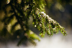 Snowy spruce tree with bokeh. Snowy spruce tree with icicles. Winter spruce close up with bokeh stock photo
