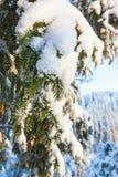 Snowy spruce tree branch Stock Photos