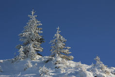 Snowy spruce trees against blue sky Royalty Free Stock Images