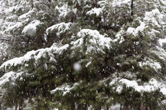 Snowy spruces. Abstract background of spruces during snow storm royalty free stock image