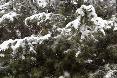 Snowy spruces. Abstract background of spruces during snow storm royalty free stock photo