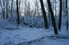 Snowy spruces Stock Photo