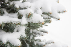 Snowy spurce closeup Royalty Free Stock Photography