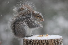 Snowy Squirrel. A cute eastern gray squirrel (Sciurus carolinensis) in a winter snowstorm sitting on a tree stump eating nuts Royalty Free Stock Image