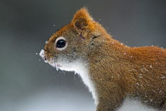 Snowy Squirrel. Profile of an american red squirrel (Tamiasciurus hudsonicus) head with snow on its nose Royalty Free Stock Photos