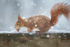 Snowy squirrel Royalty Free Stock Image
