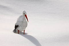 Snowy stork Stock Photos