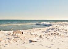 Snowy-Strand mit Schnüffelnhund in der Bewegung Stockfoto