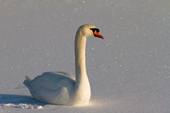 Snowy swan Stock Photos
