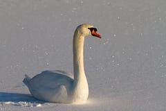Snowy swan Stock Photos