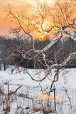 Snowy Sycamore Sunset Royalty Free Stock Image