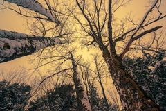 Snowy Tall Trees Stock Image