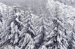 Snowy-Tanne. Lizenzfreies Stockbild