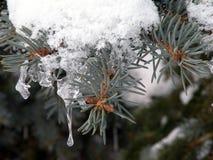 Snowy-Tannenbaumast im Winter, Litauen Lizenzfreies Stockfoto