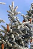 Snowy-Tannenzapfen Stockbilder