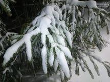 Snowy-Tannenzweig Stockfotografie