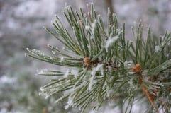 Snowy-Tannenzweig Lizenzfreies Stockbild