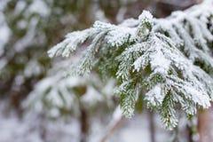 Snowy-Tannenzweig im Winterwald Lizenzfreie Stockfotos