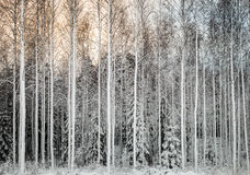 Snowy tees in a row Royalty Free Stock Photography