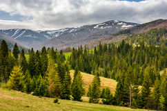 Snowy tops of carpathians in springtime. Carpathian mountain peaks in snow above green meadow with spruce forest in spring season Stock Image