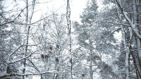 Snowy tops of trees swaying in breeze in forest or park in winter. Scenic winter video clip stock footage