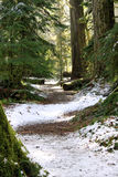 Snowy trail in Cathedral Grove Royalty Free Stock Image