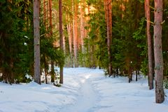 Snowy trail in the winter forest Royalty Free Stock Photo