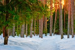 Snowy trail in the winter  forest Royalty Free Stock Photos