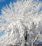 Snowy tree. A blanket of snow covered the tree over night , so it left a beautiful winter wonderland by morning Royalty Free Stock Image