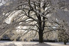 Snowy tree. A beech tree covered with fresh snow Royalty Free Stock Image