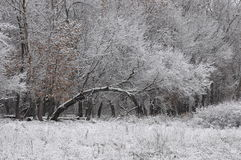 Snowy tree. Winter landscape. Curved arch of snow-covered tree Stock Photos