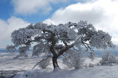 Snowy Tree. This old Pinon Tree was growing on the edge of a 200 ft cliff in central NM Stock Image