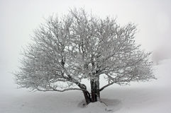 Snowy tree. Royalty Free Stock Photos
